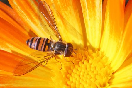 stamen wasp: Hoverfly on the calendula. Brightly coloured winged insect displaying Batesian mimicry.