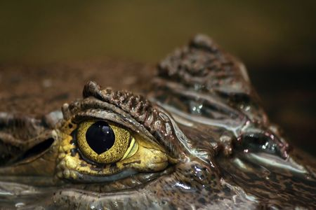 submerged: Shot of eye of partially submerged sub-adult caiman.Spectacled Caiman also known as Common Caiman or Caiman crocodilus. Stock Photo
