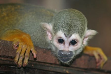 sciureus: Saimiri sciureus, the squirrel monkey is a South American or New World monkey.