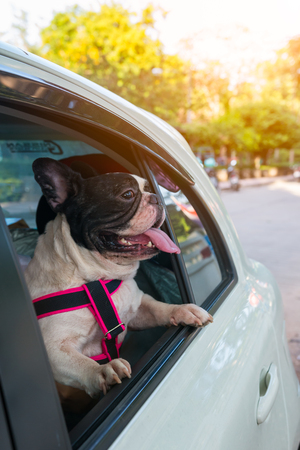 adentro y afuera: a french bulldog is looking outside the car while traveling for road trip