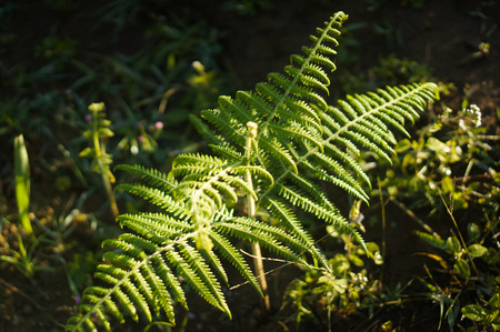 fiddlehead: fern sampling in nature on mountain, Thailand Stock Photo