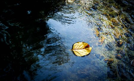 yellow Leave on fresh water in forest