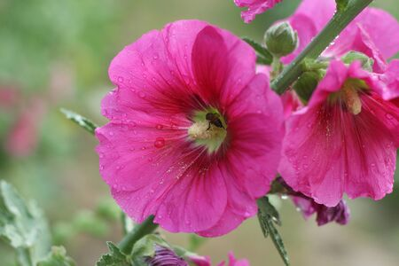 hollyhock: Pink hollyhock flowers closeup