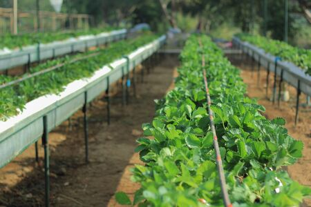 chiang mai: strawberry plant in Samerng, Chiang mai Thailand Stock Photo