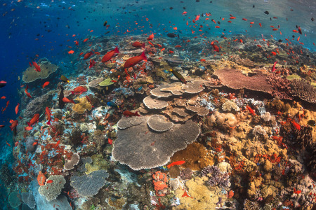 komodo island: A shallow coral reef composed of a diversity of hard coral on the famous divesite