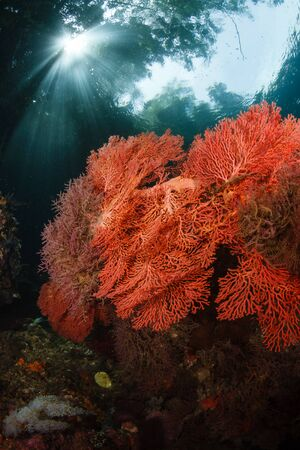diversity of the region: Sunbeams reach down into the shadows of a coral reef where gorgonians grow in Raja Ampat Indonesia. This region is known for its high marine biological diversity and great diving. Stock Photo