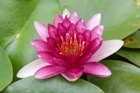 beautiful lotus flower in thailand photo