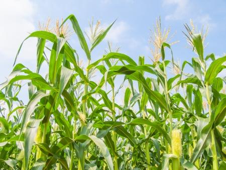 maize cultivation: corn field, farm corn, growth corn Stock Photo