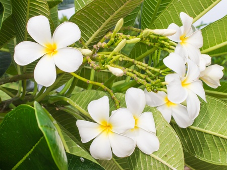 white frangipani flowers, leelawadee flowers photo