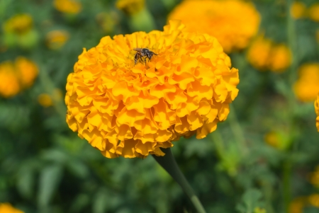 garden marigold: beautiful marigold flowers in garden Stock Photo