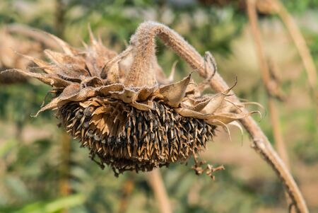 droop: Sunflower droop, Sunflower wither on the tree