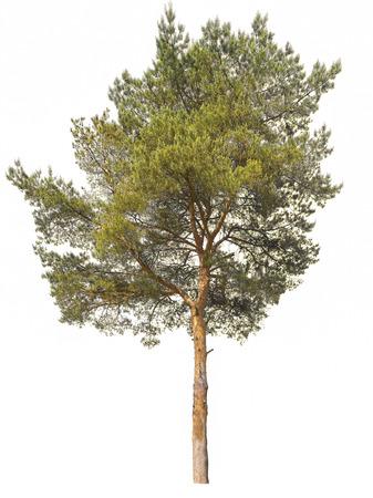 high pine isolated white background Stock Photo