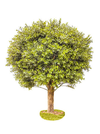 boxwood: Boxwood green tree lawn pebbles white background