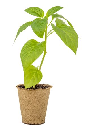 peat pot: Pepper seedlings in a peat pot isolated white background Stock Photo