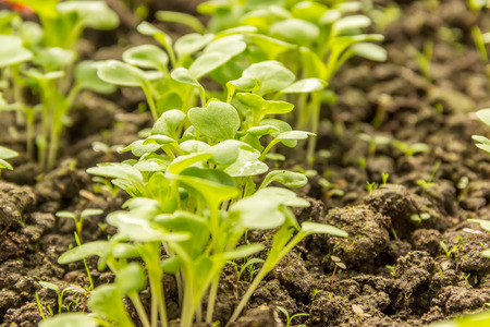 cabbage patch: Chinese cabbage patch young shoots closeup Stock Photo