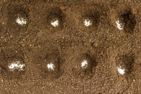 in the ranks: Hole under the seedlings with white granules of mineral fertilizers ranks greenhouse Stock Photo