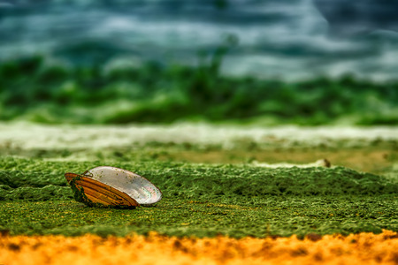 saturation: Open shell mussels oyster is on a sandy shore covered with green algae on sea green surf landscape ecology concept closeup hdr filter saturation