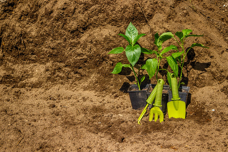 dibble: Pot with seedlings  garden tools equipment gloves background  black soil Stock Photo