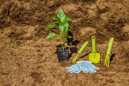 dibble: Pot with seedlings  garden tools equipment gloves background  black soil Stock Photo