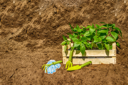topsoil: Wooden box with a young seedling on a pile of topsoil and garden tools