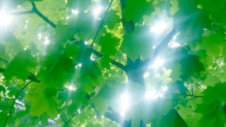 breaks: Through maple foliage sunlight breaks horizontal