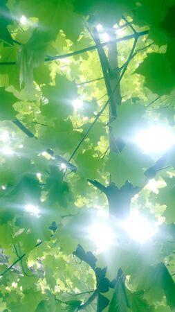 breaks: Through maple foliage sunlight breaks vertical