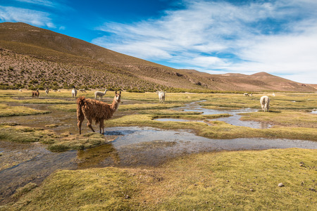 andes mountain: Llamas in Andes Mountain Bolivia