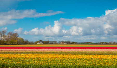 purples: Tulips farm in Holland