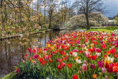 purples: Tulips Garden Stock Photo