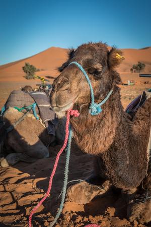 Camel resting in Sahara Desert