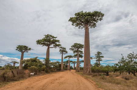 africa baobab tree: Baobabs in Madagascar