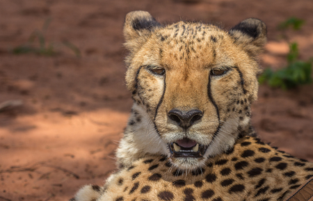 cheetah cub: Resting cheetah in Africa