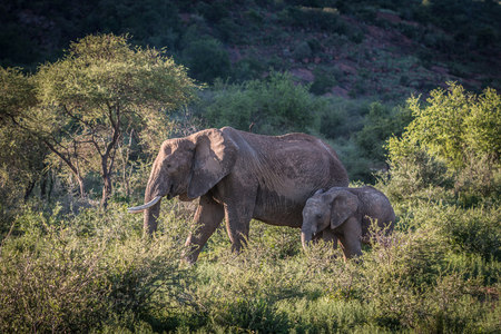 Mother and baby elephan in South African Safari