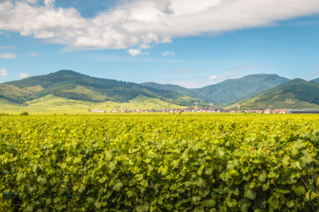 Vineyard in Alsace France 免版税图像