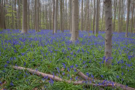 Bluebell forest Belgium Stock Photo
