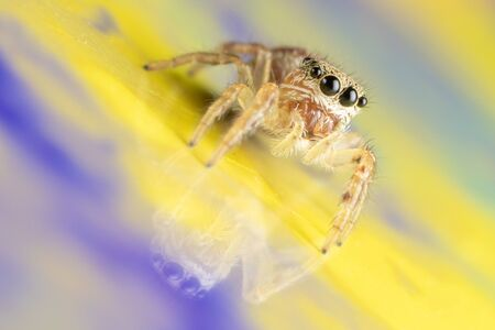 Macro photo of a cute little jumping spider with its revlection visible on a colorful glossy blue and yellow card