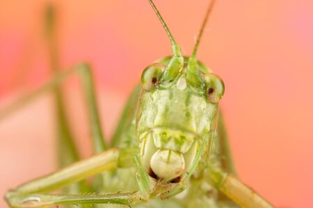 Macro photo of a green katydid with a goofy face and lots of detail. Very funny perspective of this bug Фото со стока - 128297269