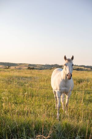 Landscape photo of a white horse in a grassy field during sunset in midwest rural Nebraska 版權商用圖片