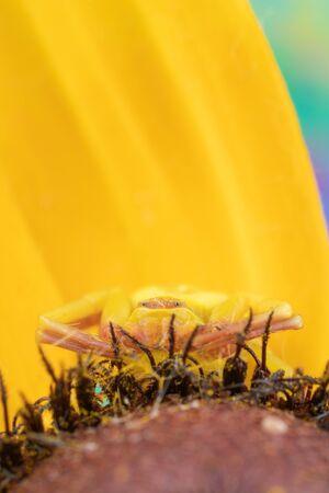 Macro photo of a crab spider thomasade on a black-eyed-susan