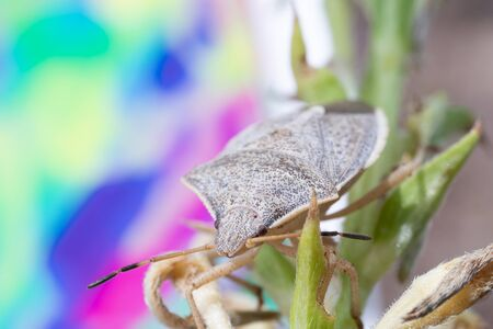 Macro photo of a spined soldier bug on a sunflower stalk with colorful background Фото со стока - 128297698