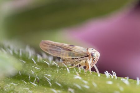 Macro photo of a planthopper on a purple coneflower stem, side view Фото со стока - 128297713