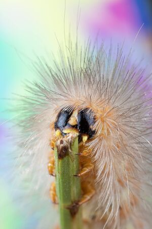 Macro photo of a fuzzy caterpillar on clover with black and yellow face holding onto the clover stem Фото со стока