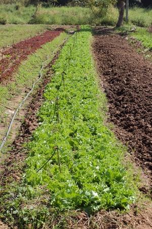 grower: Iceberg Lettuce is ogenic vegetable, grower in thailand