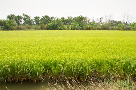 Paddy field at Bangkok of Thailand