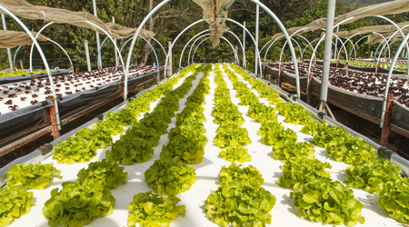 Growing vegetables at The Royal Agricultural Station Angkhang Chiang Mai, northern Thailand. Archivio Fotografico