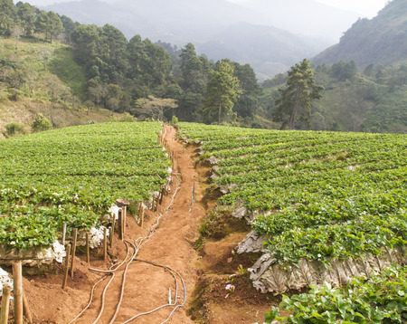 Strawberry farm in 'Doi Ang Khang' of northern Thailand's Chiang Mai province Archivio Fotografico