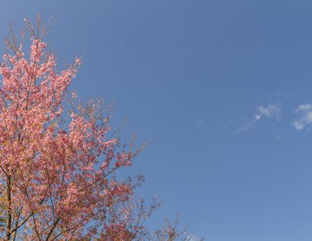 Wild Himalayan Cherry tree on sky background