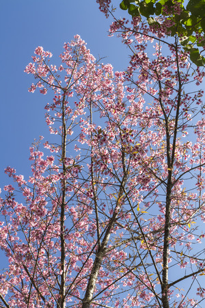 Wild Himalayan Cherry field in Chiang Mai province of Thailand