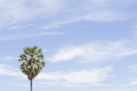 Palm Sugar tree on the sky background at noon. Archivio Fotografico