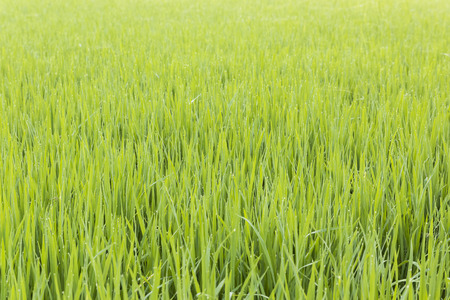 Closeup ear of paddy in the rice field of Thailand